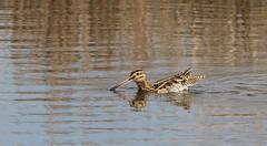 Snipe 230318 (Richard Collier - Wildlife and Travel Photography) Tags: wildlife naturalhistory nature birds britishbirds british snipe