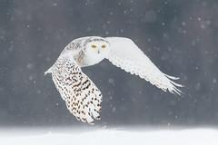 Le fantôme d'hiver (jlf_photo) Tags: snowy owl harfang des neiges quebec canada hiver froid