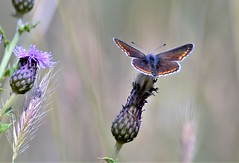 Butterfly pastels. (pstone646) Tags: butterfly blue nature wildlife animal insect colour fauna flora bokeh thistle kent flowers purple grasses