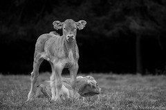 Fier Veau - Proud Veal (Nicolas Rouffiac) Tags: veau veal fier proud vache cow vaches cows animal animals animaux nature rural campagne country countryside