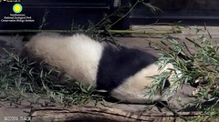 2018_08-22zzi (gkoo19681) Tags: beibei chubbycubby fuzzywuzzy adorableears 3rdbirthday celebrating toomuchexcitement naptime tootired comfy justlikepapa bigstretch toocute adorable contentment bellyup sofluffy feetsies precious darling meltinghearts ccncby nationalzoo