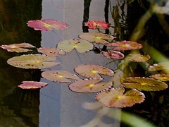 A Floating Mystery (The Spirit of the World ( On and Off)) Tags: pond water lilypads pads nature dark orient asia srilanka southeastasia templeofthetooth mysterious mood