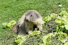 Marmotta (Giovanni Insolia) Tags: parc animalier dintrod marmotta valle daosta