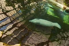 Manatee (Marco le Méro) Tags: water eau nager swim swimming wild animals europe france loir et cher centre val de loire animaux parc zoologique nature park summer holiday nikon nikkor camera digital day mirror d5300