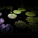 Lilies At Night