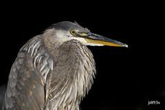 Great Blue Heron (jt893x) Tags: 150600mm ardeaherodias bird d500 greatblueheron heron jt893x juvenile nikon nikond500 portrait sigma sigma150600mmf563dgoshsms thesunshinegroup coth alittlebeauty coth5 sunrays5