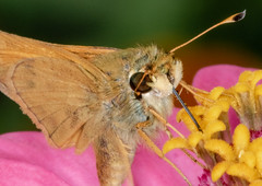 Feasting on Nectar (tresed47) Tags: 2018 201809sep 20180903homemacro butterflies chestercounty content delawareskipper folder home insects pennsylvania peterscamera petersphotos places season september skipper summer takenby us
