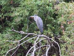 Mr. Heron (trilliumgirl) Tags: salmon arm shuswap bc british columbia canada heron blue gray green branches brown