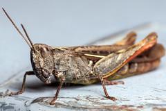 Armoured Jumper, Pt. 2 - _TNY_0566 (Calle Söderberg) Tags: macro canon canon5dmkii canonef100mmf28usmmacro canoneos5dmarkii 5d2 flash meike mk300 glassdiffusor grasshopper commonfieldgrasshopper chorthippus brunneus gräshoppa markgräshoppa backgräshoppa fieldgrasshopper gomphocerinae acrididae beige caelifera fältgräshoppa raynox dcr250 f22