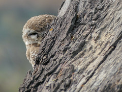 Spotted Owlet (Mike Prince) Tags: athenebrama aves bharatpur birds india keoladeoghananationalpark owls rajasthan spottedowlet strigidae