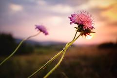 Late summer sunset (Petr Horak) Tags: grass flare foliage sunset nature flower x100f czechia depthoffield countryside summer closeup dof golden fuji grassland europe mirrorless evening