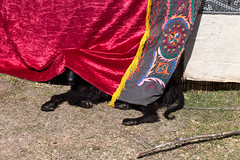 Taigan Dog looking for some shade at the yurt camp (Demipoulpe) Tags: