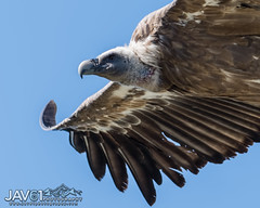 Griffon vulture (Gyps ulvus)-0222 (George Vittman) Tags: bird vulture raptor provence hautealpes nikonpassion widlifephotography jav61photography jav61 fantasticnature
