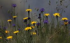 Forcella (lincerosso) Tags: bosconero forcellaimpradida altitudine prateriadaltitudine estate fioritura fiori bellezza armonia