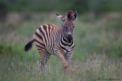 Ain't I cute? (leendert3) Tags: leonmolenaar southafrica krugernationalpark wildlife nature mammals burchellszebra ngc npc