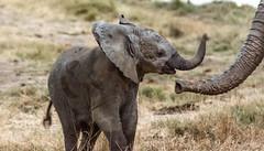 Baby (ravalli1) Tags: africa elephant wildlife zimbabwe hwange baby nature animals somalisa endangered poaching africanbushcamps