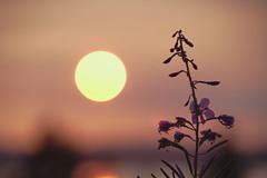 Épilobe (Patrice StG) Tags: pentaxart pentax chinon50mmf14 bokeh vintagelens vintage sunset coucherdesoleil couchant backlit contrejour gimp côtenord northshore stlaurent stlawrence