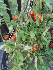 Lots of tomatoes to pick (creed_400) Tags: belmont west michigan summer september tomaotes