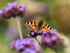 Small Tortoiseshell (Maria-H) Tags: smalltortoiseshell aglaisurticae butterfly verbena quarrybankmill garden styal cheshire uk olympus omdem1markii panasonic 100400