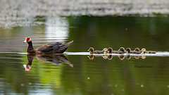Ft. Myers, Florida July 11,2017 (Doug Lambert) Tags: muscovyduck ducklings waterfowl water pond bird birding nature wildlife audubon ftmyers florida canon6d tamron150600