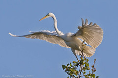 Great Egret (Ardea alba) (Jeluba) Tags: 2018 ardeaalba canon france grandeaigrette greategret jeanlucbaron jeluba lelouroux silberreiher aves bird birdwatching nature oiseau ornithology wildlife horizontal