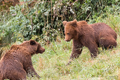 Grizzly Bears (Rudolf Photography) Tags: canon canon100400 photo photography photographer animal animals wildlife wildlifephotography nature naturephotograpy natgeo pic picture picoftheday photooftheday colors colorful contrast bw forest bear bears bearphotography mammal brown grizzly scare scared