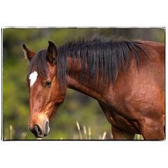 Kananaskis Horse. #photography #photooftheday #photoadaychallenge #canon7d #sigma150600 #equine #horse #nature #kananaskiscountry #travelalberta #project365 #opcmag
