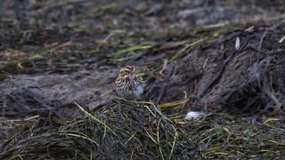 White-throated Sparrow. Correction Savannah Sparrow.