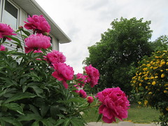 Blooms return6 (annesstuff) Tags: annesstuff shrubroses yellowrose rose flower garden peonies peony