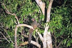 Spix's Guan (tim ellis) Tags: holiday amazon iracema rionegro bird guan spixsguan penelopejacquacu manaus brazil