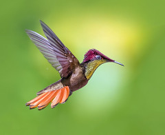 My beautiful tail. Ruby Topaz Hummingbird in flight dancing in the air, Trinidad. (pedro lastra) Tags: chrysolampis mosquitus flight hummingbird macro