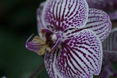 DSC09007-Phalaenopsis Loveliness (oliveplum) Tags: orchidextravaganza gardensbythebay leica60f28macro sony singapore purple bokeh flowerdome