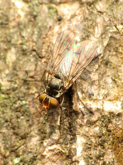 Muscid Fly (treegrow) Tags: paparoanationalpark newzealand nature lifeonearth raynoxdcr250 arthropoda insect diptera fly muscidae