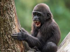 Trotzkopf (wernerlohmanns) Tags: natur outdoor nikond750 nachwuchs primaten pflanzenfresser gorillas gorillakinder sigma150600c schärfentiefe deutschland duisburgerzoo zoo