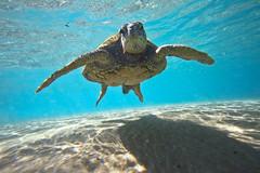IMG_0936A (Aaron Lynton) Tags: beach lyntonproductions turtle honu maui hawaii luckywelivehawaii greenseaturtle seaturtle turtles refraction sun light water ocean oceanart reflect reflection sand coast