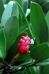 "Cincinnati - Spring Grove Cemetery & Arboretum ""Henry Hicks Magnolia Tree - Seedpods & Seeds Emerging"" (David Paul Ohmer) Tags: cincinnati ohio spring grove cemetery arboretum henry hicks magnolia tree seedpods seed pods"