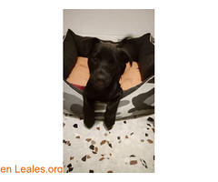 NEGRO en adopción (Leales.org • tu guía animable) Tags: adopta adoptar adoptanocompres noalmaltratoanimal adopción sebusca extraviado perdido perro gatos lealesorg