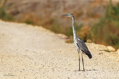 Grey Heron (Asa-Photography) Tags: bord nikon nature naturephotgraphy nikond850 wildlife wild wildlifephotography nikkor 200500mm