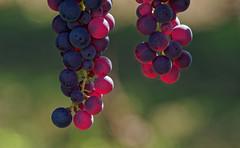 Uva Controluce (G.Sartori.510) Tags: pentaxk1 smcpentaxda300mmf4edifsdm uva grapes controluce backlight