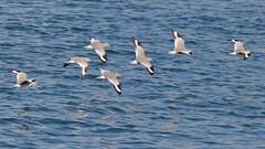 Willets, flying, Ballona Jetty, CA CQ4A5232 (Hart Walter) Tags: ballonajetty playadelrey blackoystercatcher willet sanderling westerngull allenshummingbird blackturnstone surfbird