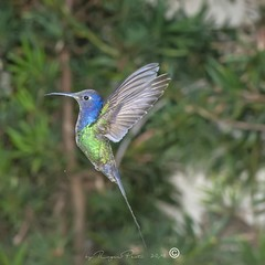 _DSC0320 (Roger Hummingbirds) Tags: animal nature bird birds colibri wildlife hummingbird wings flight feeder flower nectar south america rain forest color colorful colour fly flying spread blue green delicate flora floral beauty inflight ornithology wild brazil beijaflor tesourinha kolibrie feathers outdoor verde azul natureza do sul vôo voando delicado flores