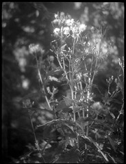 flowering weeds, yard, West Asheville, NC, Zenobia, Arista.Edu 200, Kodak TMAX develper, 9.18.18 (steve aimone) Tags: flowers flowering weeds yard westasheville northcarolina zenobia neohesper75mmf35 aristaedu200 kodaktmaxdeveloper blackandwhite monochrome monochromatic folder