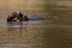 Maasai Mara_13sep18_11_hipo (Valentin Groza) Tags: maasai mara kenya africa safari wildlife hipo hipopotam river raul
