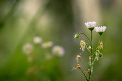 Flower hugs (bolex.ua) Tags: flowers nature green hugs garden ukraine polonne summer