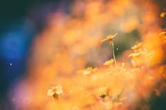 pppPpp (_elusive_mind_) Tags: colorfineart flower flowers plants bokeh orange