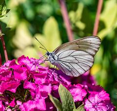 Black Veined White Murren 13 July 2018 (88) (BaggieWeave) Tags: switzerland murren berneseoberland cantonbern butterfly blackveinedwhite