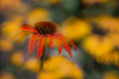 Double Bill (cindiefearnall) Tags: incameradoubleexposure doubleexposure echinacea rudbeckia garden flowers flowerphotography nature naturephotography macro macrophotography