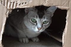 In my box (pouncealot) Tags: eevee cat catportrait pet petportrait cardboard box eyes green aww cute