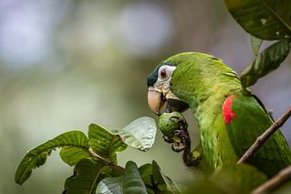 Maracanã-pequena (Diopsittaca nobilis) Red-shouldered Macaw