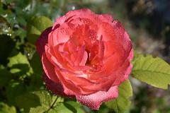 DSC_8561 (griecocathy) Tags: macro rose feuille perle eau vert crème saumoné violine cristal lumineux
